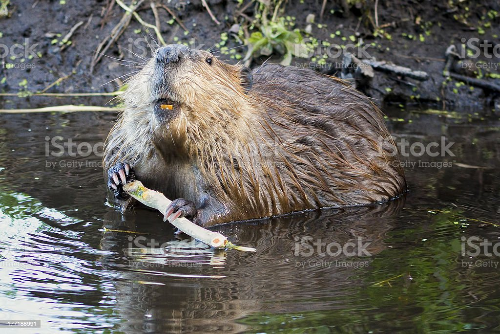 Beaver in the Tetons stock photo
