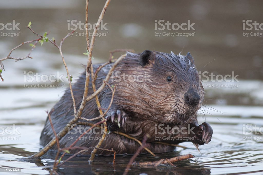 beaver in water stock photo
