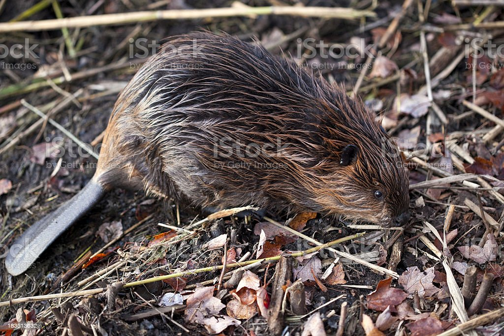 Beaver Kit at on Bank of Pond royalty-free stock photo