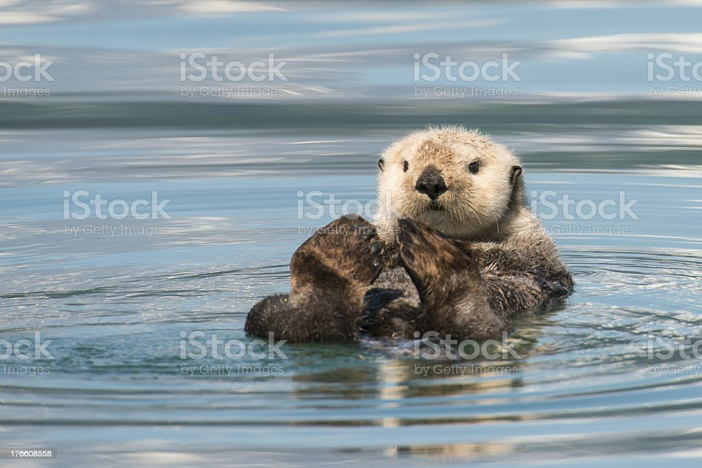 Beaver lay on its back floating down a river stock photo