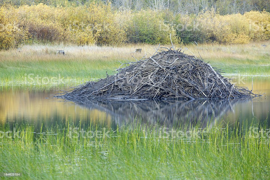 Beaver Lodge in Lake. stock photo