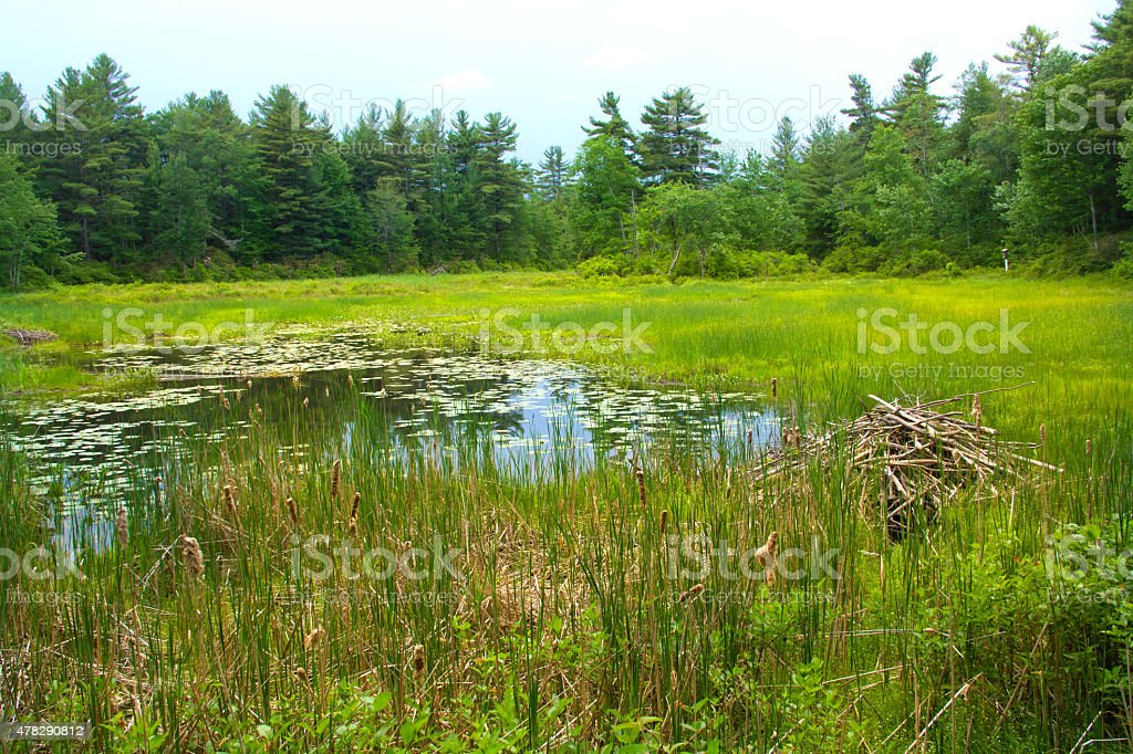Beaver lodge in swamp at White Memorial, Litchfield, Connecticut stock photo