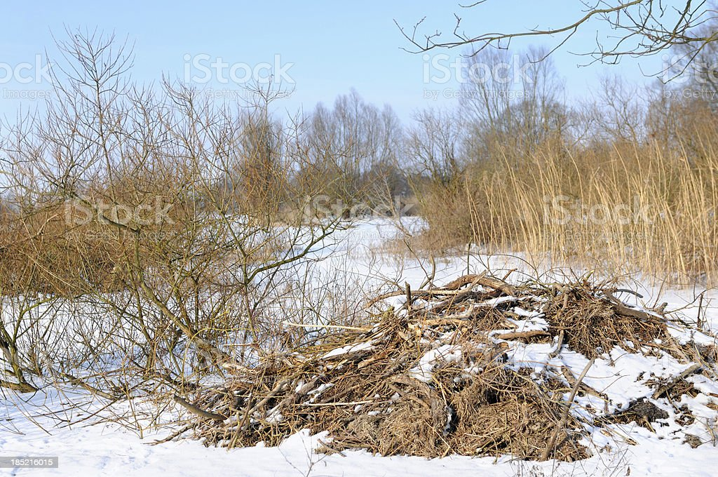 Beaver lodge on Havel River (Germany) with poplar tee stock photo