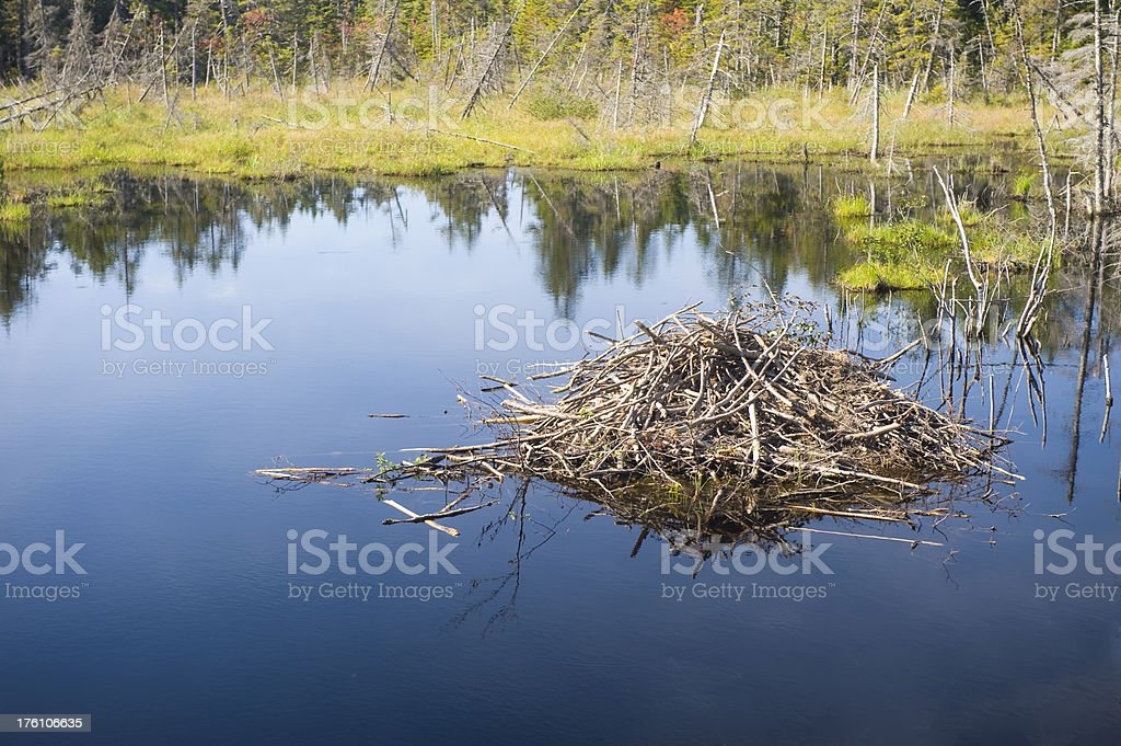 Beaver lodge stock photo