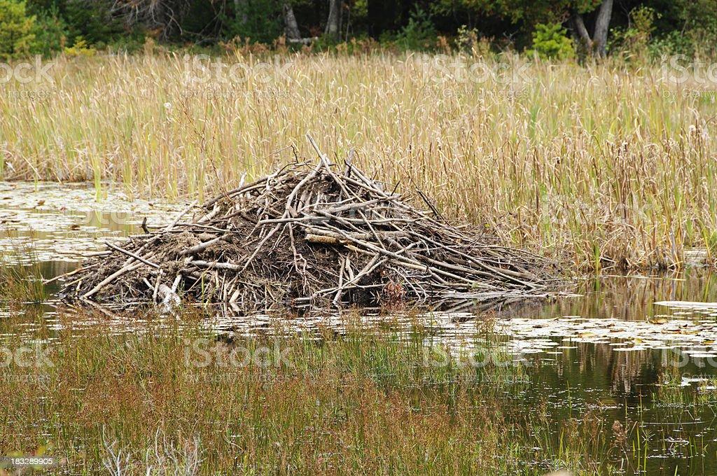 Beaver lodge (den) royalty-free stock photo