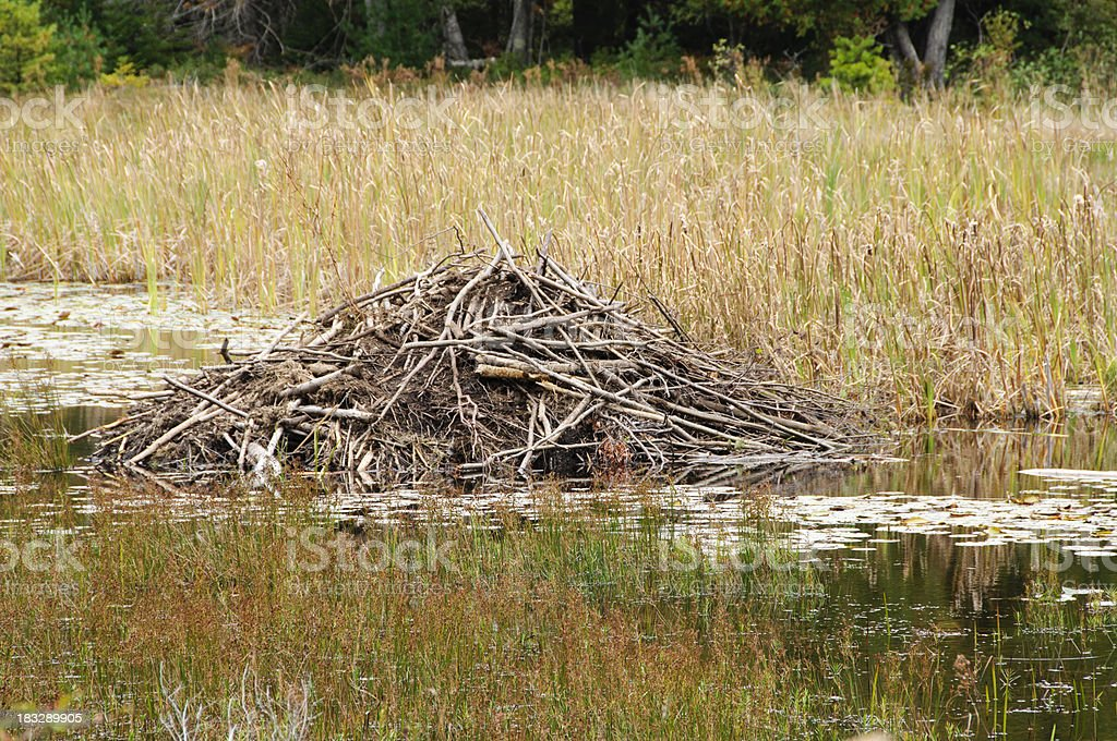 Beaver lodge (den) stock photo