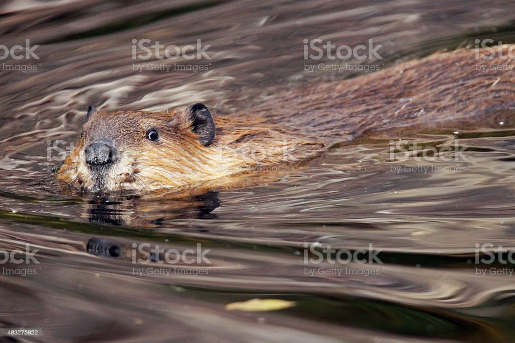 Beaver looking at camera stock photo