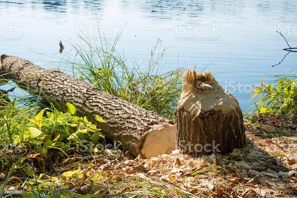 beaver mark - tree falling at a lake stock photo