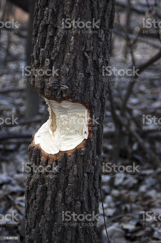 Beaver Markings royalty-free stock photo