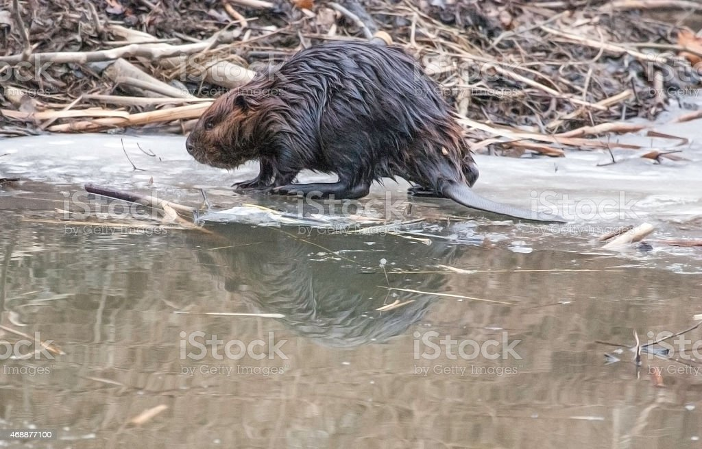 Beaver next to Beaver Dam stock photo
