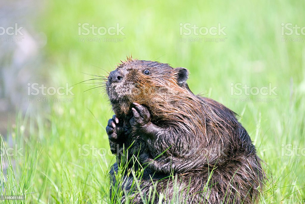 Beaver- Oh my! royalty-free stock photo