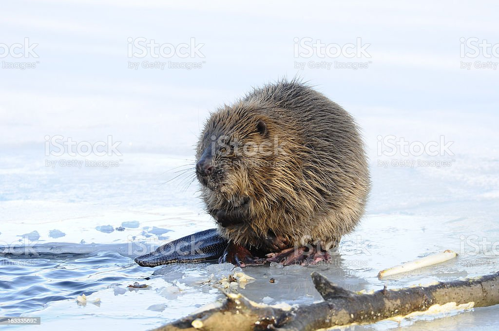 A beaver out of water sitting beside a log stock photo