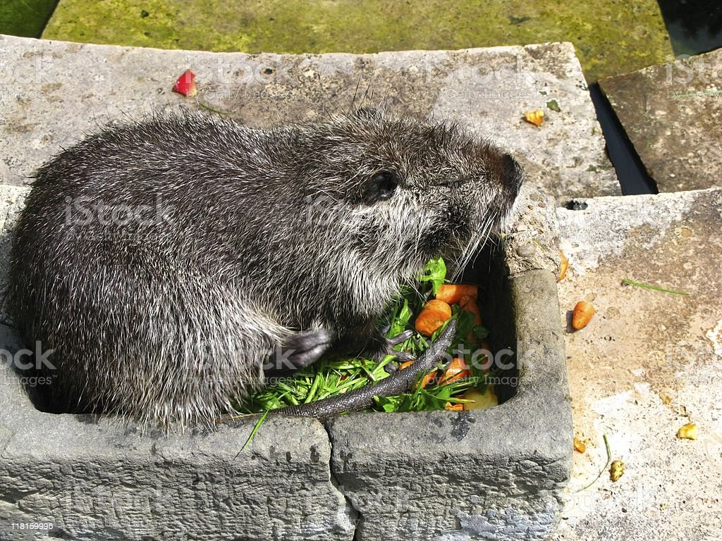 Beaver royalty-free stock photo