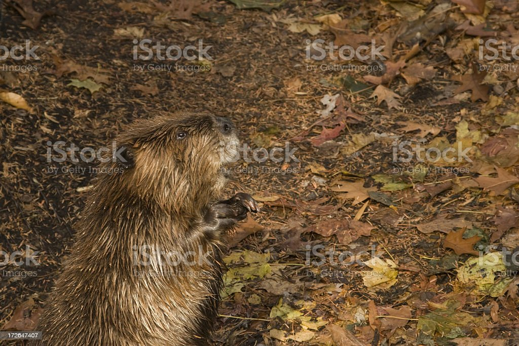 Beaver royalty-free stock photo