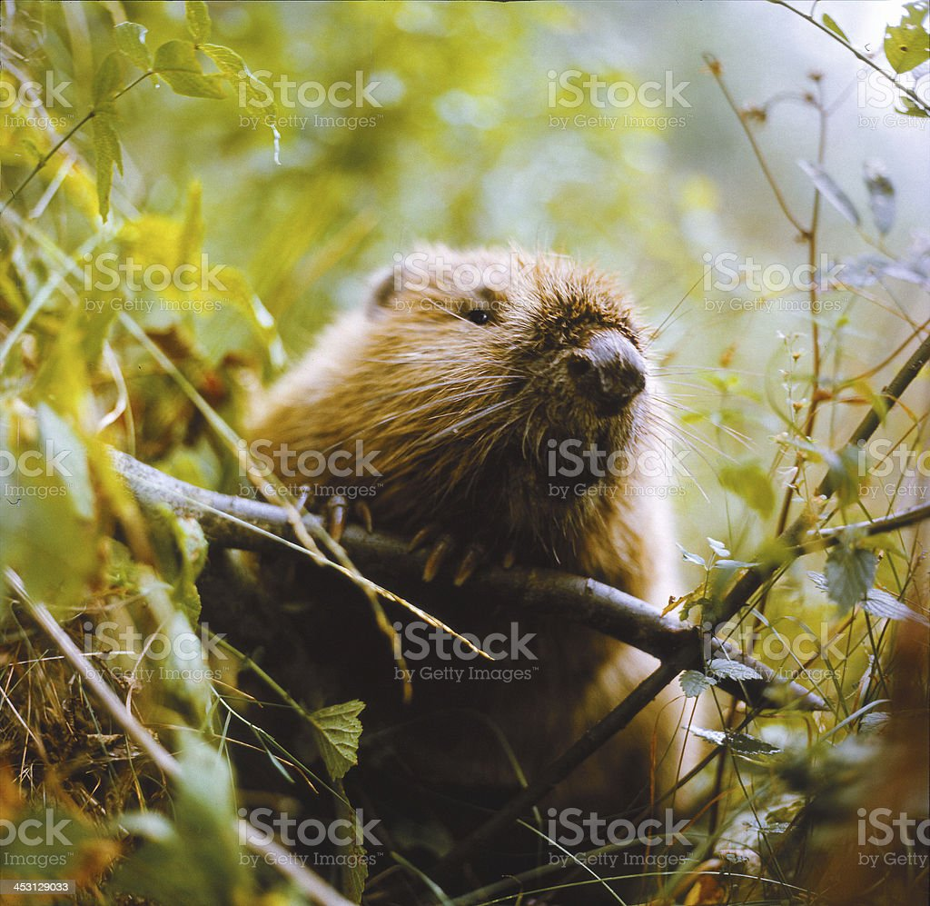 Beaver. Portrait. stock photo