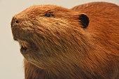 Beaver portrait