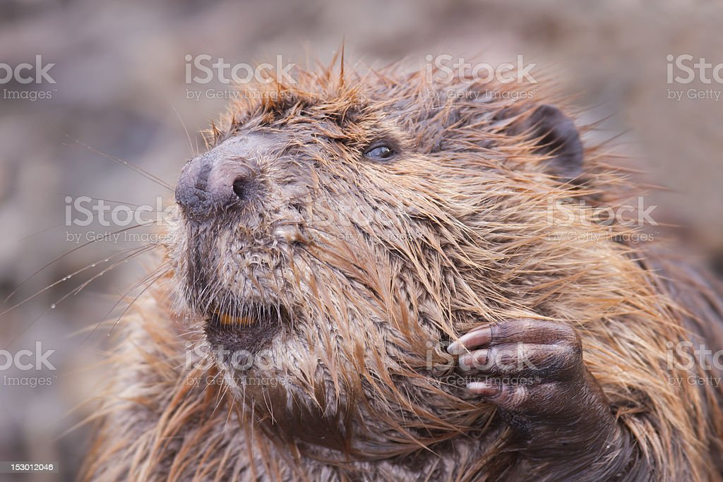 Beaver Professor stock photo