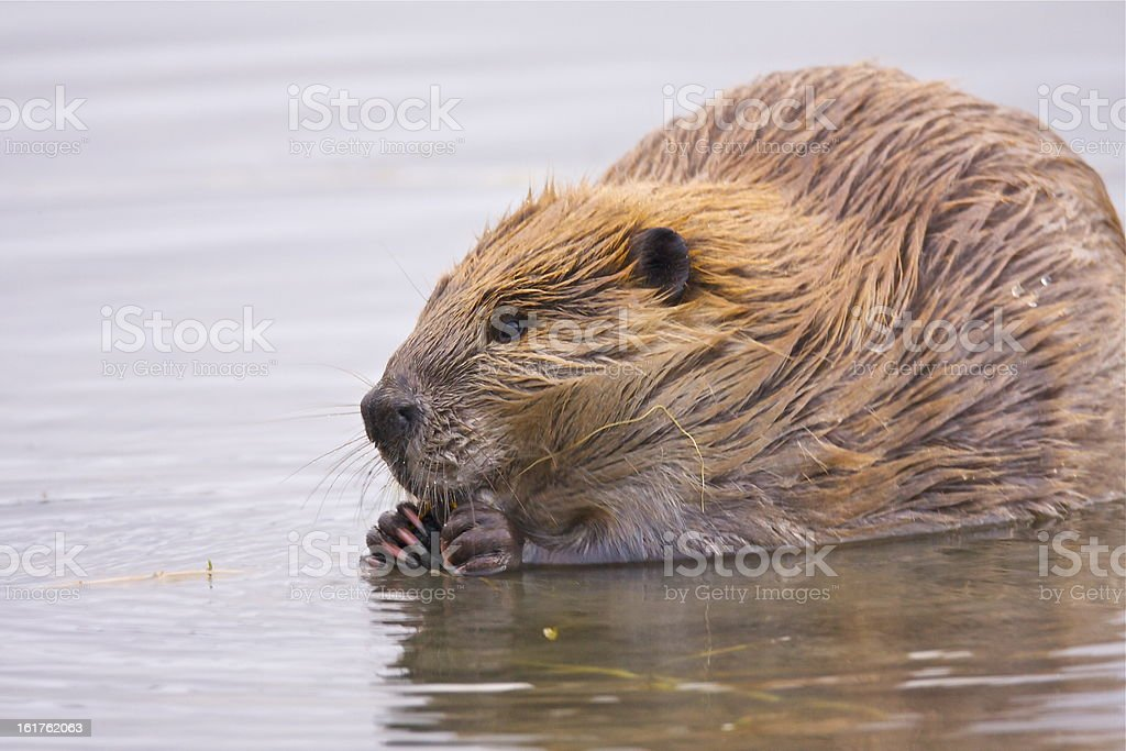 beaver resting in shallow water royalty-free stock photo