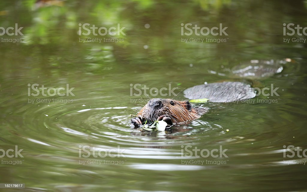 Beaver swimming and eating stock photo