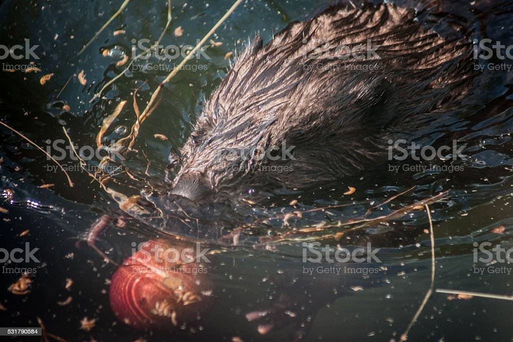 Beaver nager dans un étang photo libre de droits