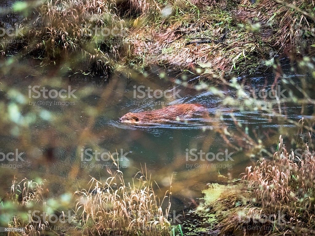 Beaver Swimming in Pond Brush North American Castor Canadensis stock photo