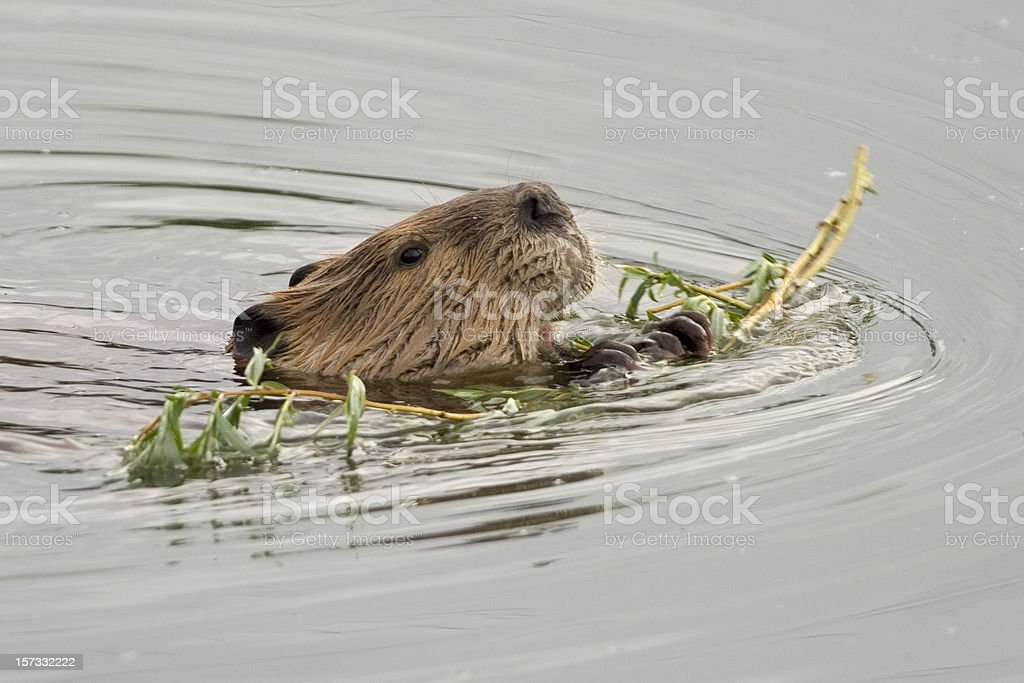 Beaver swimming while munching on willows, Colorado stock photo