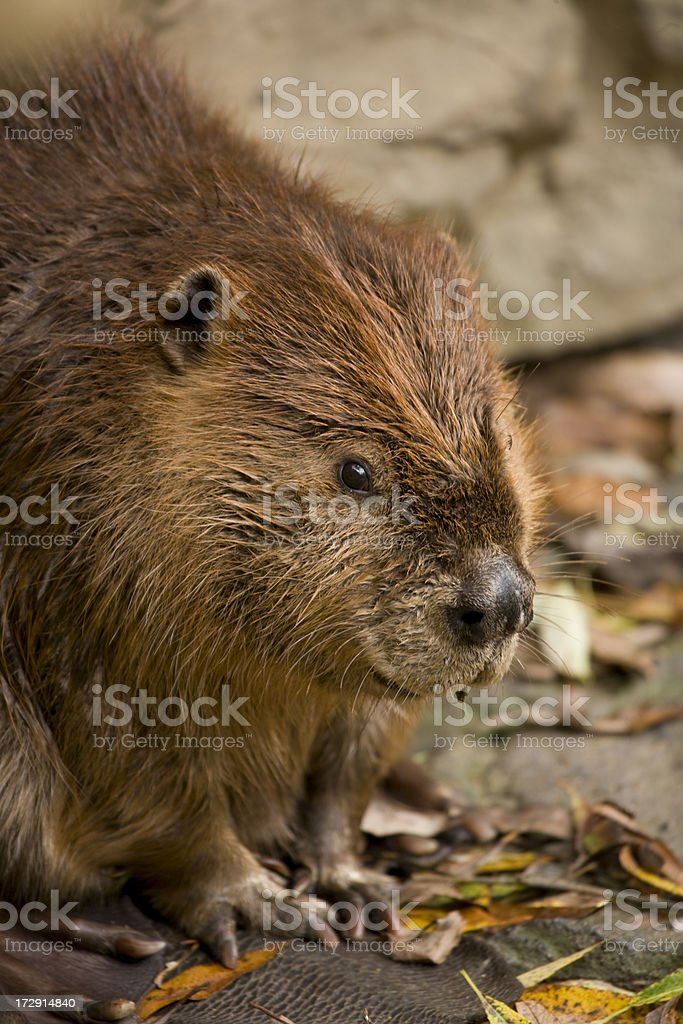 Beaver up and close. stock photo