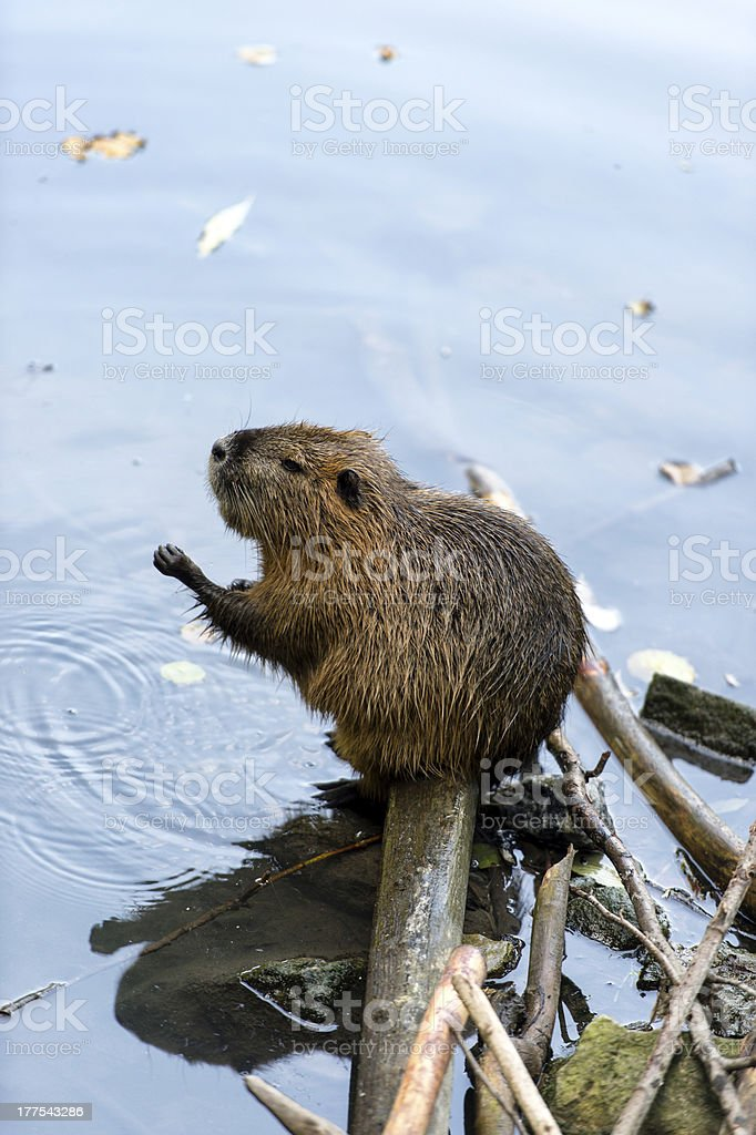 Beaver washing stock photo