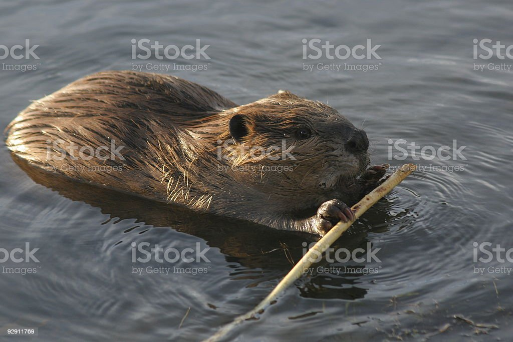 Beaver with stick stock photo
