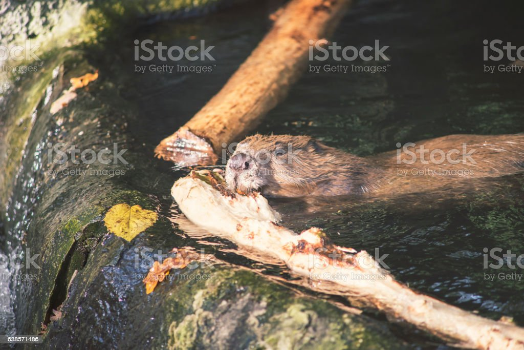 beaver with wood stock photo