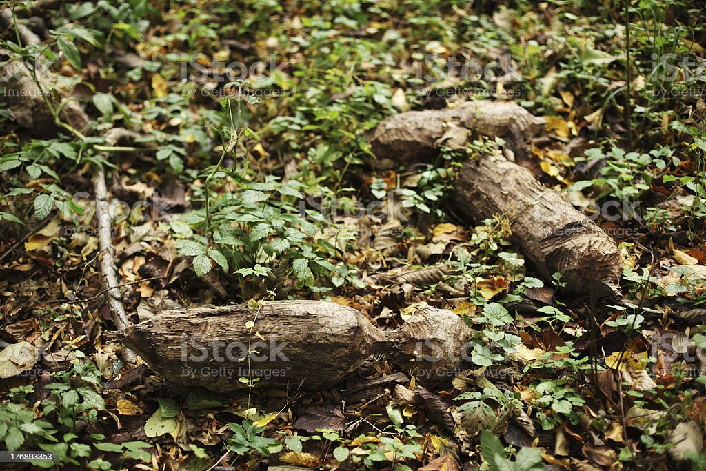 Beaver wood royalty-free stock photo