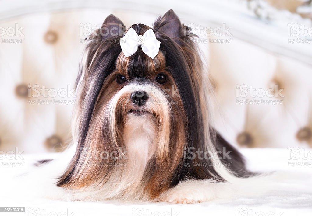 Beaver Yorkshire Terrier dog stock photo
