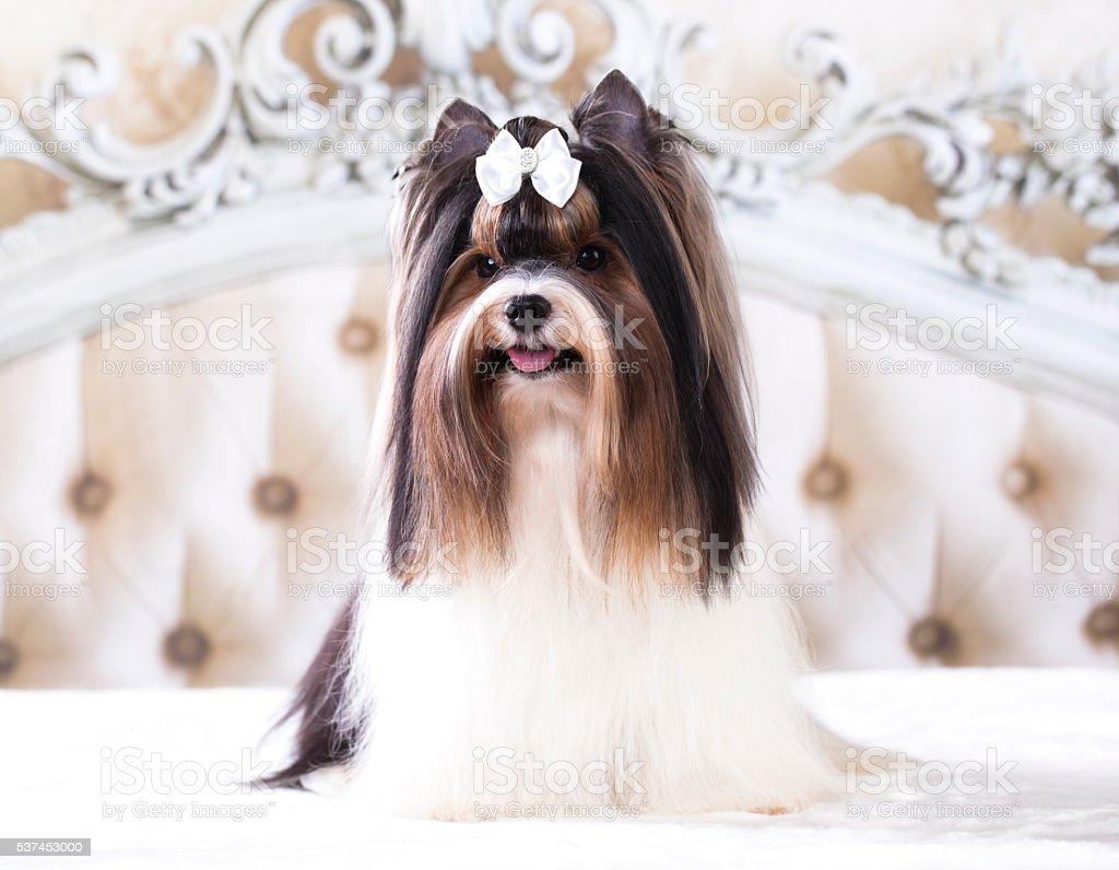 Beaver Yorkshire Terrier stock photo