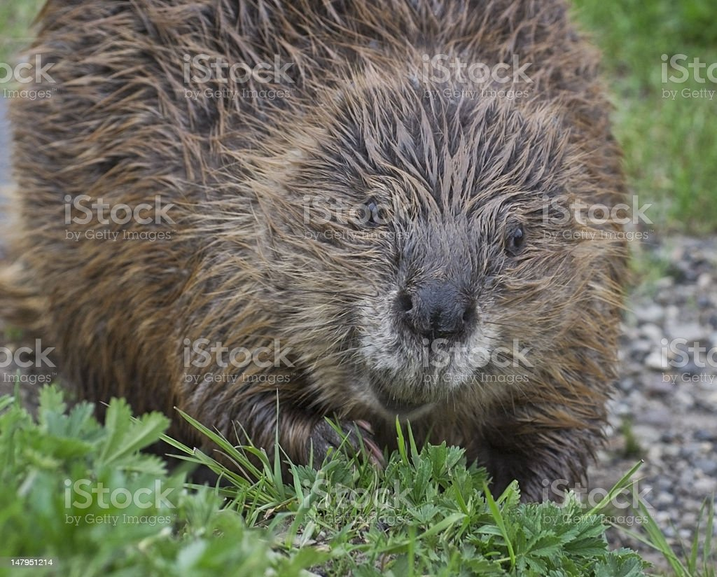 BeaverAshore royalty-free stock photo