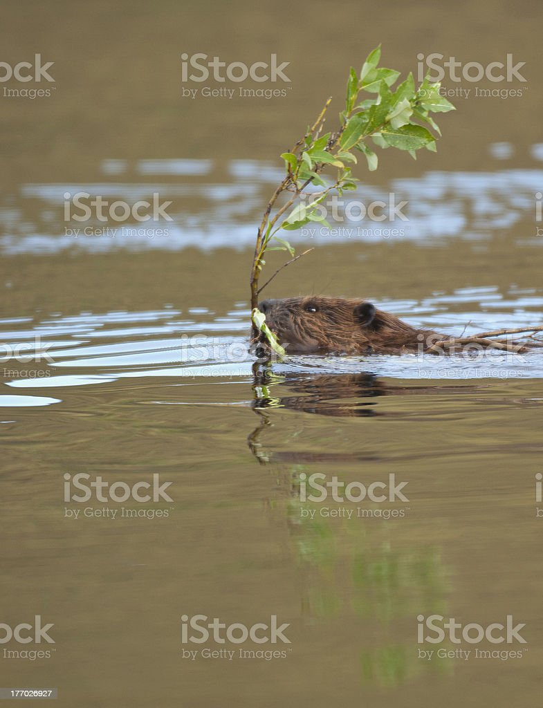 BeaverInPond royalty-free stock photo
