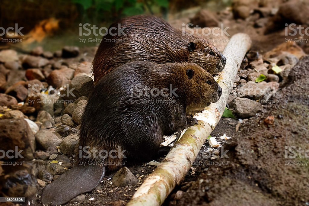 Beavers at work stock photo