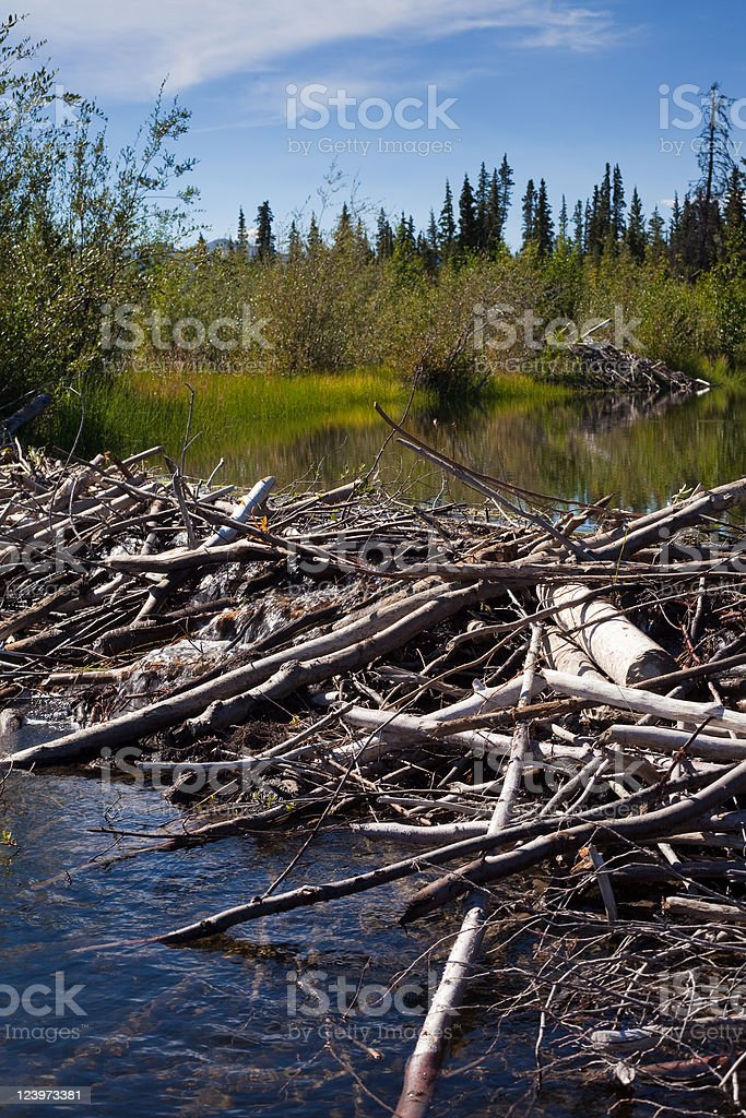 Beaver's Dam and Lodge royalty-free stock photo