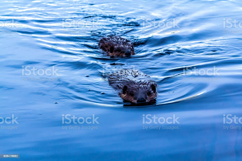 Beavers stock photo