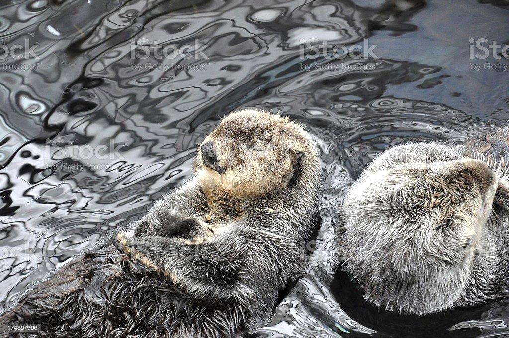 beavers relaxing stock photo