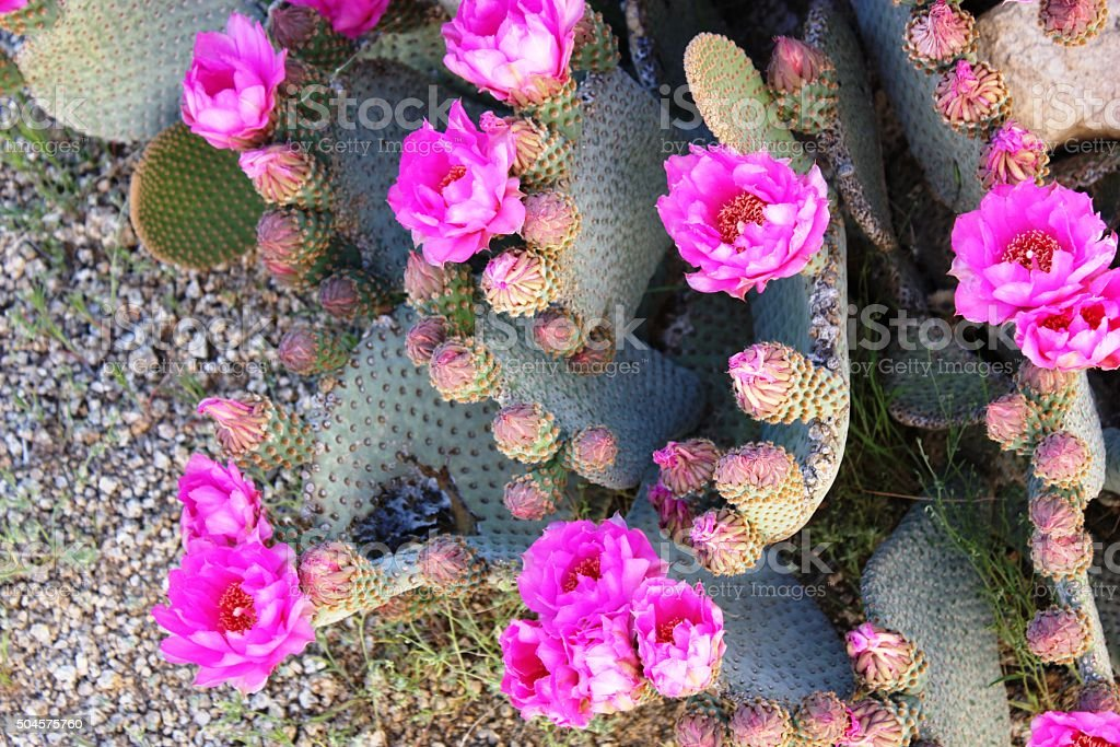 Beavertail pricklypear pink flowers in Joshua Tree National Park, California stock photo