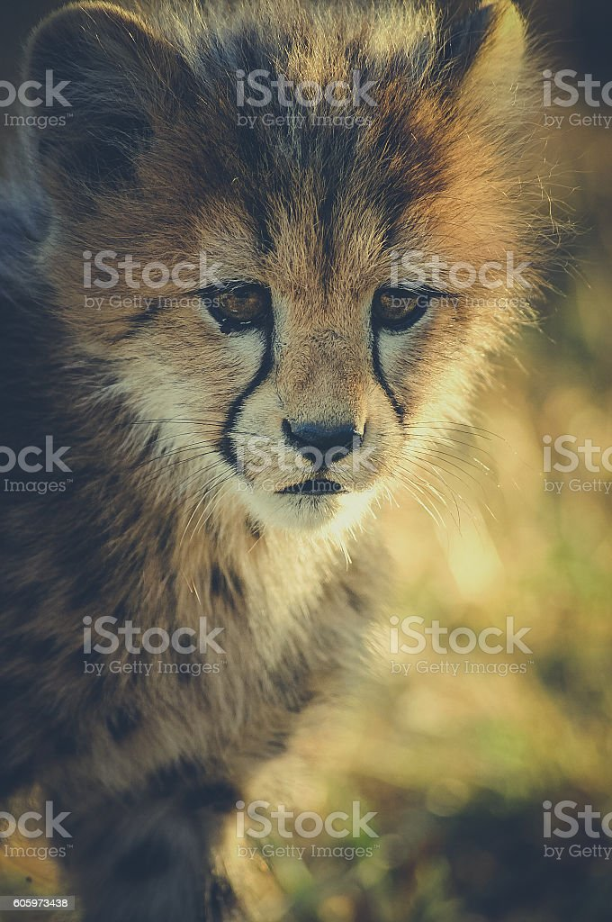 Bebe Guepard/ Cheetah Cub stock photo