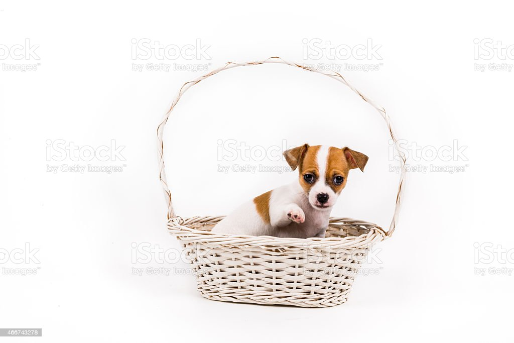 beckoning chihuahua puppy sitting in a basket stock photo