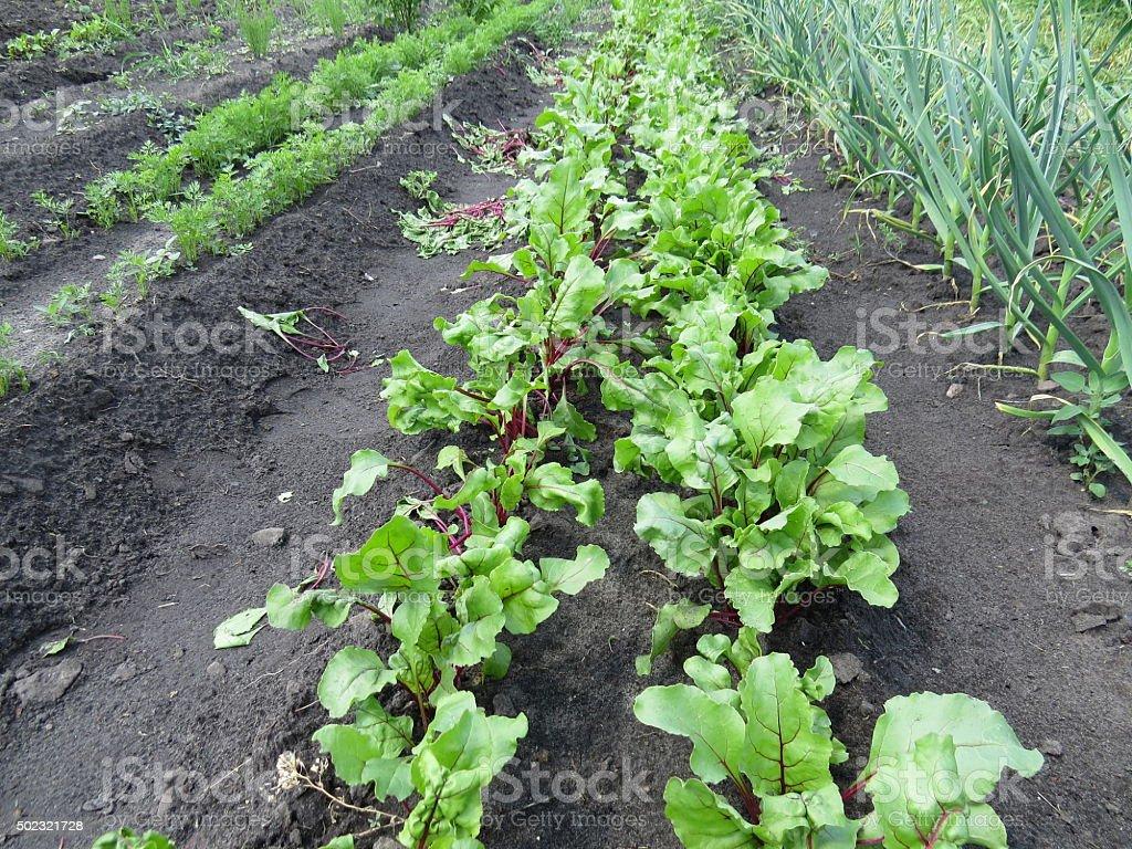 bed beet stock photo