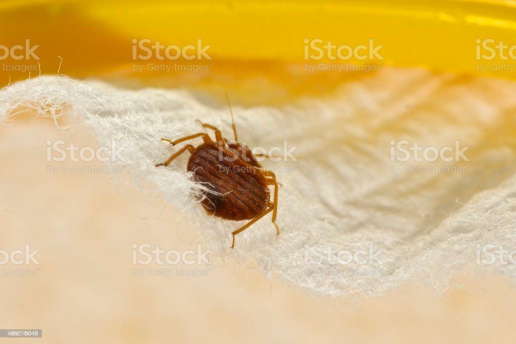 Bed Bug stock photo