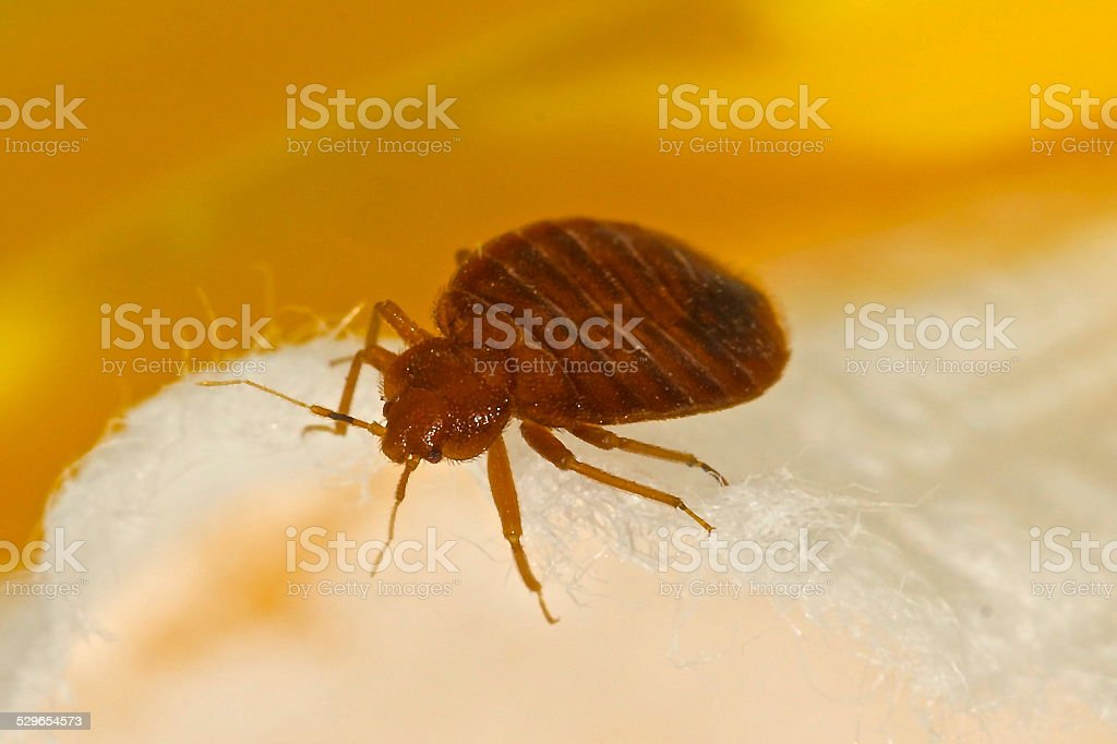 Bed Bug stock photo