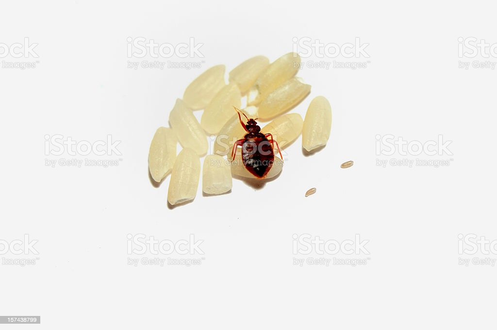 Bed bug sitting on pieces of pasta stock photo
