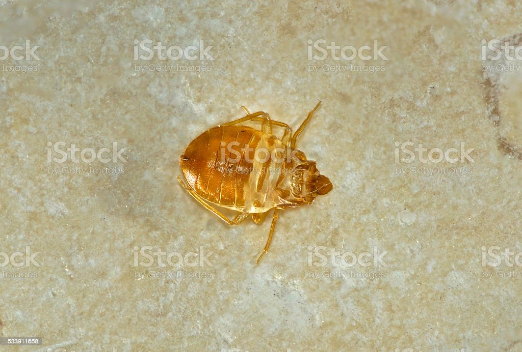 Bed Bug Skin stock photo