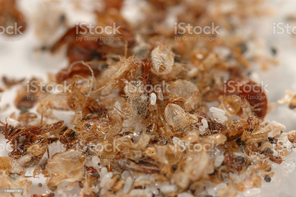 Bed bug waste1 stock photo