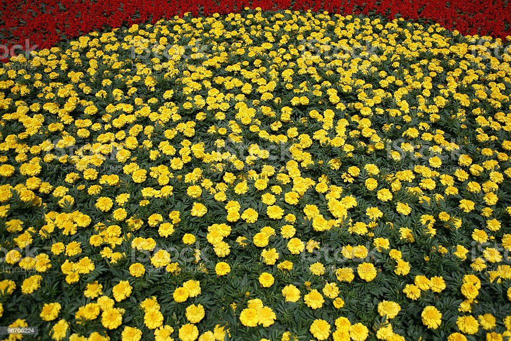 Bed of Chrysanthemums royalty-free stock photo