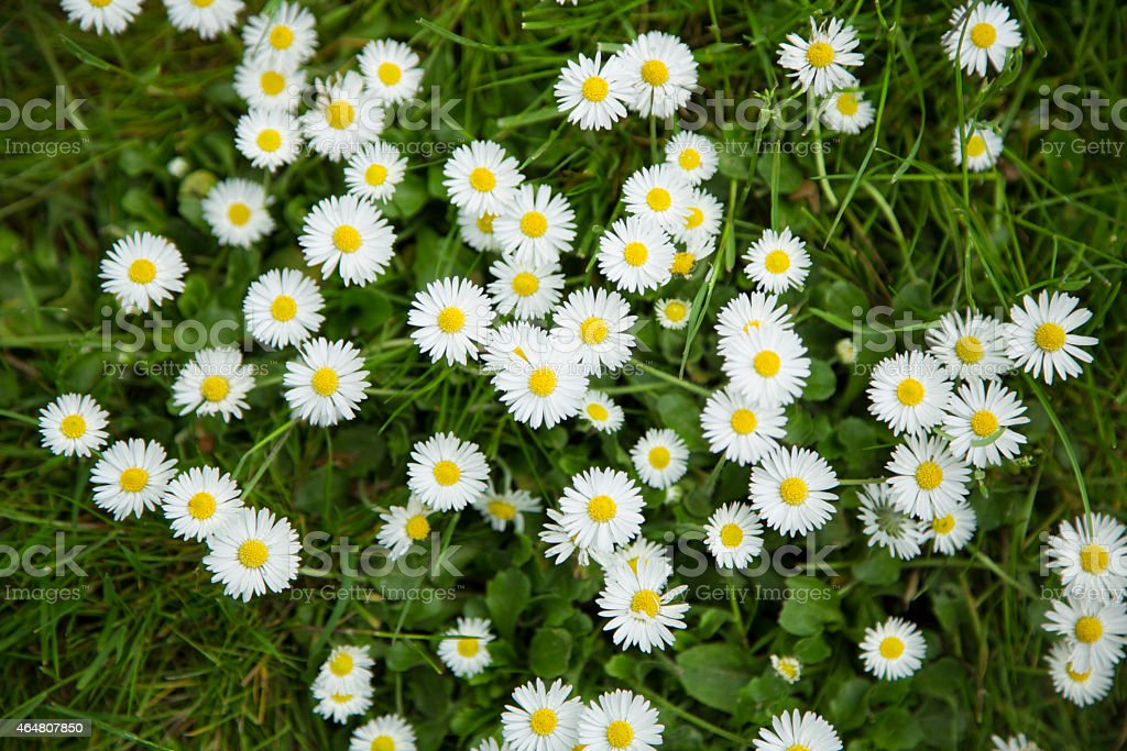 Bed of daisies from above stock photo
